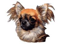 Chihuahua langh�ret