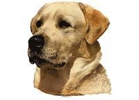 Labrador gul